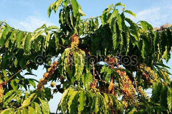 Bu aşamaların ilk başı hiç kuşkusuz kahve ağacı ile başlar!..